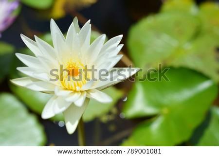 White lotus flower. #789001081