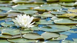 White lotus flower and lush waterlily foliage on water surface of natural lake