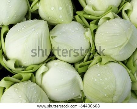 White lotus flower bud