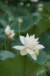 White lotus flower or water lily. Royalty high-quality free image of white lotus flower. The background is lotus leaf and lotus bud in a pond. Beautiful sunlight and sunshine in the morning