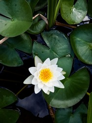 White lotus flower (water lily) in water with green lotus leaves around. Natural background.