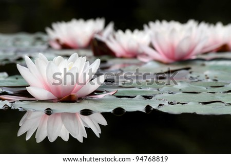 white lotus flowers on the pond ...