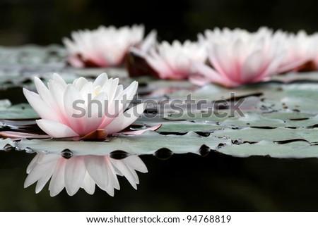 white lotus flowers on the pond ...