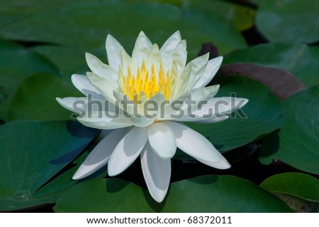 white lotus from Thailand
