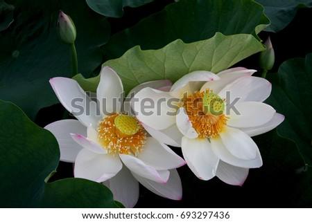 White lotus nelumbo nucifera known as indian lotus or sacred lotus white lotus nelumbo nucifera known as indian lotus or sacred lotus flower of august mightylinksfo