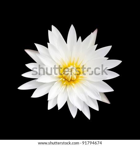 White lotus on a black background. White lotus with yellow pollen on a black background.