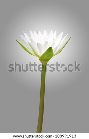white lotus on grey background (clipping path)