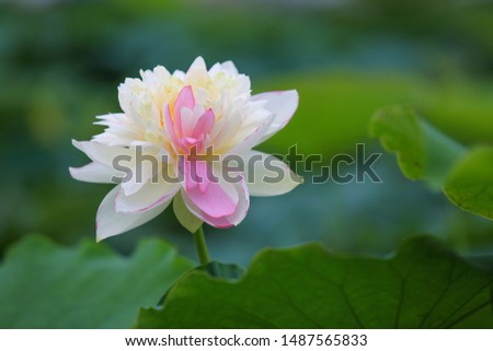 White lotus with pink border taken at the beautiful ocean of tranquil tranquility on July 4, 2017  #1487565833
