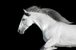 White lusitano stallion with long mane portrait  in motion on black background