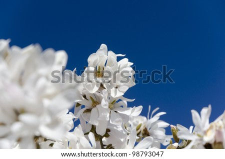 white magnolia blossom; against deep clear blue sky; selective focus