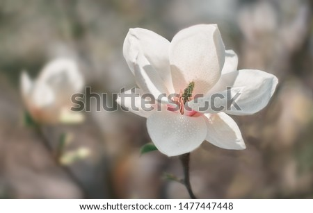 White Magnolia flower blooming on background of blurry white Magnolia on Magnolia tree. Rain drops on petals.