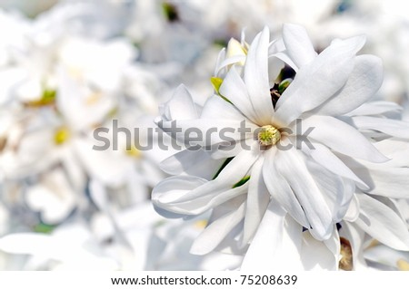 White magnolia flower detail in spring blooming