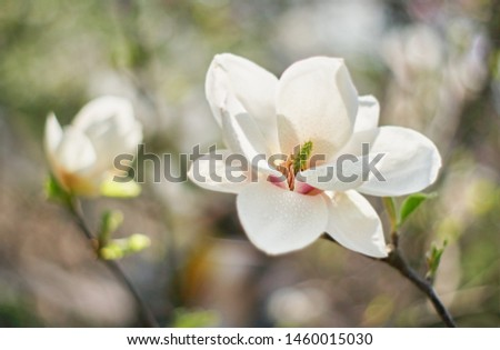 White Magnolia flower in the garden blooms against the background of the blooming flowers of the magnolia tree. Beautiful flower close up. Nature #1460015030