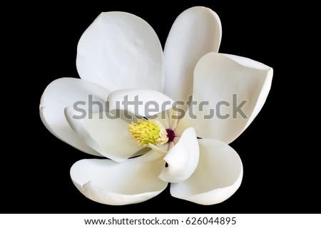 White magnolia flower isolated on black. Dwarf variety of evergreen magnolia grandiflora.