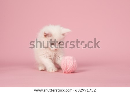White main coon baby cat playing with a pink woolen ball on a pink background