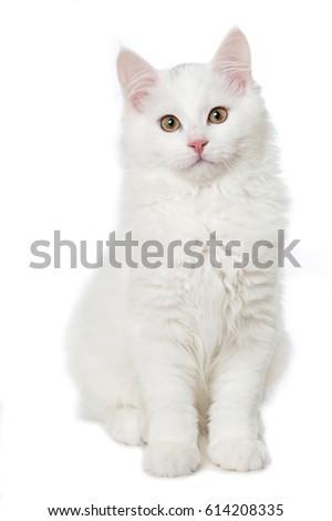 White maine coon kitten Stock photo ©