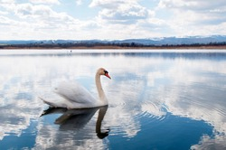 White majestic swan floating in front of water ripples.A beautiful swan in the middle of the water against the background of white clouds and distant mountains in the snow