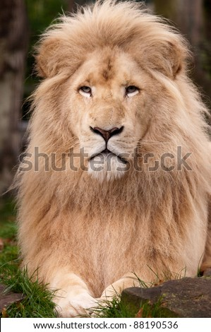 White Male Lion close up