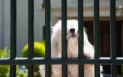White Maltese dog behind metal bars of fence door waiting for its owners.