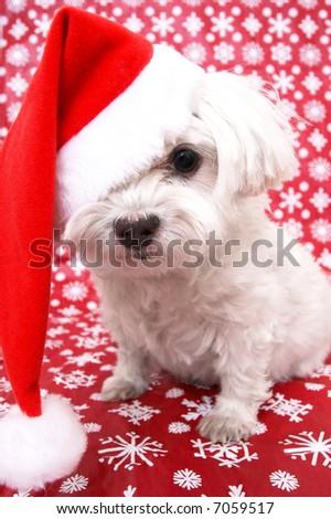 White Maltese dog in Christmas santa hat