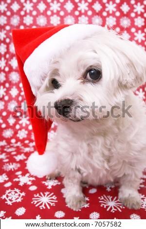 White Maltese Dog wearing red santa hat