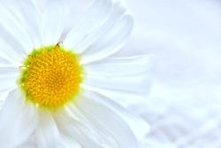 white margaret flowers on white background,(photo blurred.)