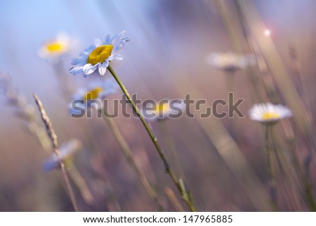 White marguerites on the field with blue filter
