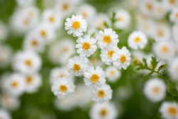 White matricaria (feverfew) flowers. Natural repellent against pincers (tick). Medicine herbs. Beautiful natural background.