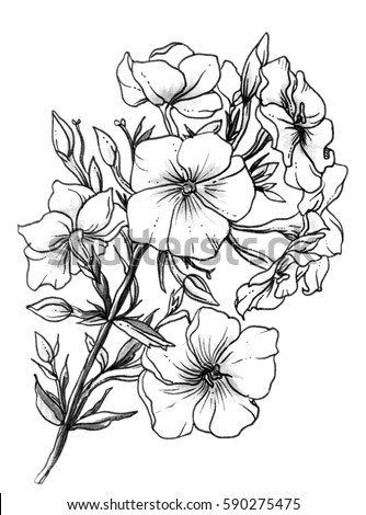White meadow exotic phlox flower blossom. Botanical retro vintage hand drawn watercolor black and white monochrome illustration for wedding invitation card print pattern design. Japanese style, garden #590275475