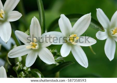 White meadow saxifrage saxifraga paniculate flowers snowdrops white meadow saxifrage saxifraga paniculate flowers snowdrops isolated on green background mightylinksfo