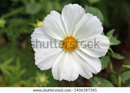 White Mexican aster flower, also known as the garden cosmos, Cosmos bipinnatus, in the cnetre of the image with blurred leaves in the background.