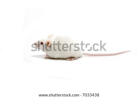 White mice isolated over white