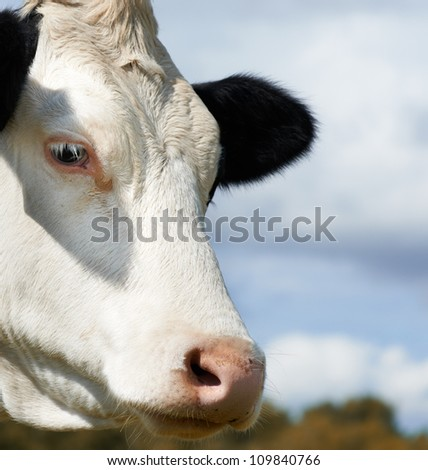 White milch cow with black spots - stock photo