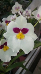 White Miltonia hybrid orchid in bloom. Miltoniopsis orchid flower, known as a pansy orchid. Greenhouse in Netherlands