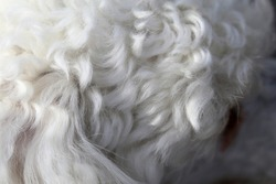 White miniature poodle in a closeup. Soft, fluffy, curly fur of the friendly little pet dog. Lovely texture. Closeup of the poodle fur, hairy, cute surface ready to be pet! Adorable animal.