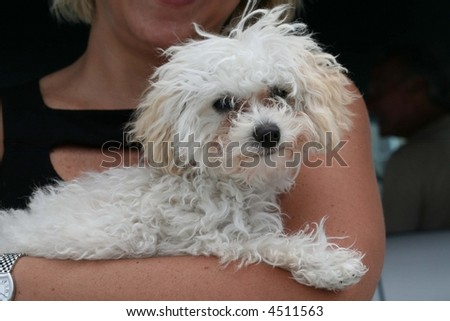 White+poodle+miniature