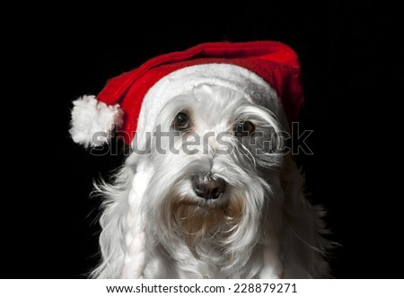 white miniature schnauzer dog in Santa hat #228879271