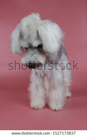 white miniature schnauzer, Miniature Schnauzer Grooming,  #1527173837