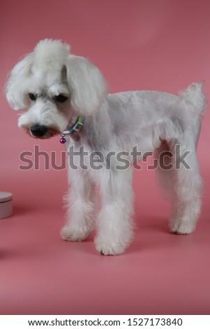 white miniature schnauzer, Miniature Schnauzer Grooming,  #1527173840