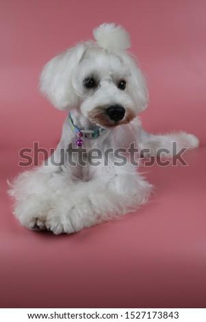 white miniature schnauzer, Miniature Schnauzer Grooming,  #1527173843
