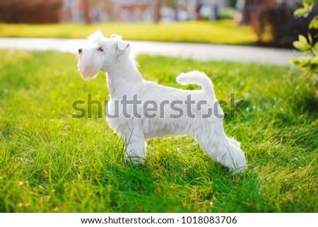 White Miniature Schnauzer Standing #1018083706