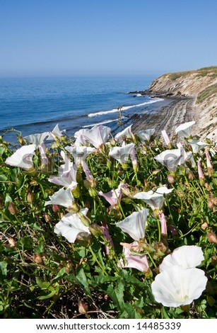White Morning Glory flowers growing along the California coast.