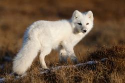 White Morph Arctic fox (Vulpes lagopus) in Barrow, arctic Alaska, USA.