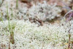 White moss or musk among the sand of desert dunes