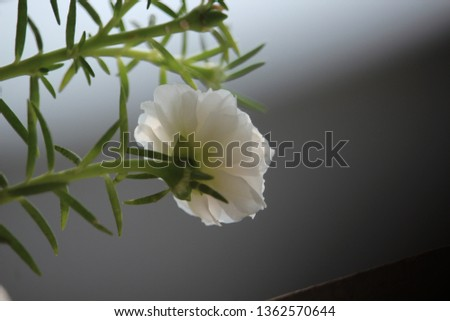 white moss rose #1362570644
