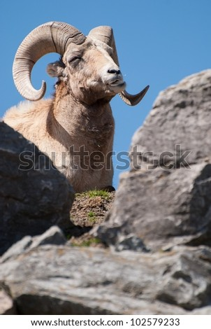White mouflon from America (Amercan bighorn)