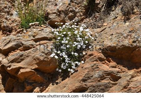 Free photos white mountain flower among the rocks avopix white mountain flower among the rocks 448425064 mightylinksfo