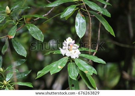 White mountain laurel #676263829