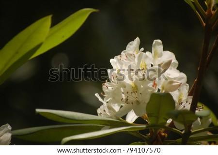 White mountain laurel flower #794107570