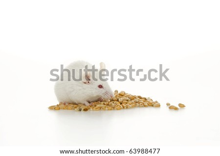White mouse and corn, on white background.